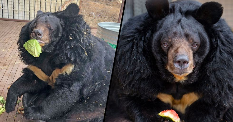 Fat Bear Who Is Twice the Size He Should Be Hates His New Diet