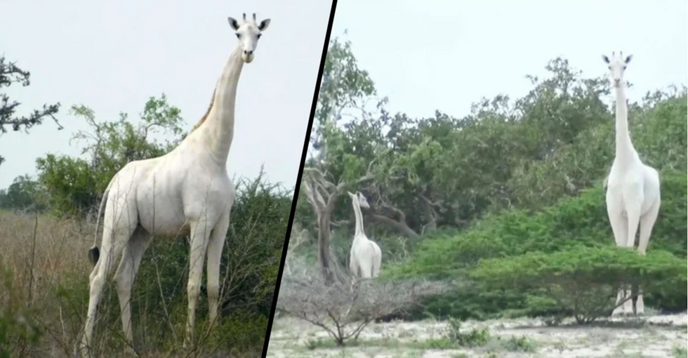 Calf Is Only White Giraffe Left After Poachers Killed Its Mother and Sibling