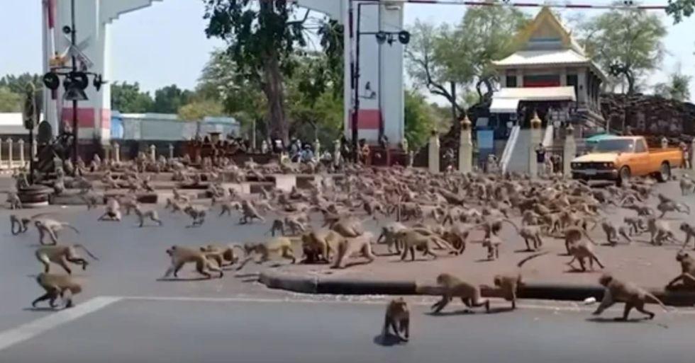 Hundreds of Monkeys Terrorize City in Search of Food Amid Coronavirus Crisis