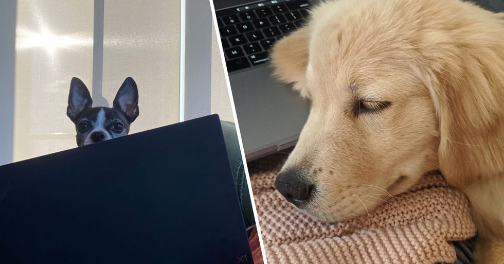 People Are Sharing Pictures of Their Furry 'Colleagues' as They Work From Home