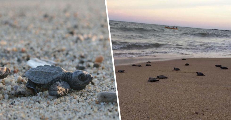 Endangered Turtles Hatch on Deserted Beach Due to Coronavirus
