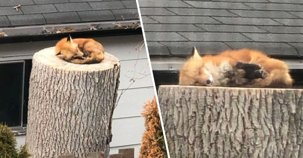 Fox Sleeping on a Tree Stump Makes the Day of a Couple Stuck Inside