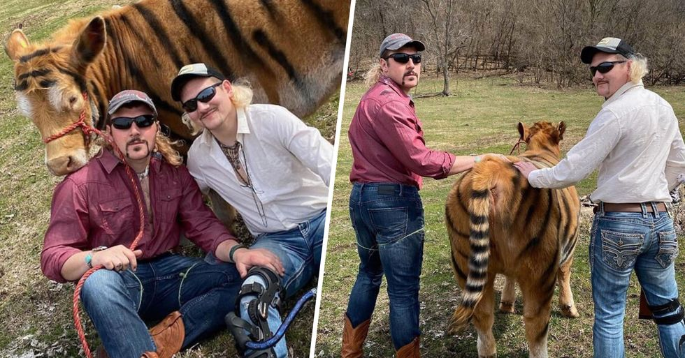Farmers Paint Their Cow and Stage a 'Tiger King' Photoshoot