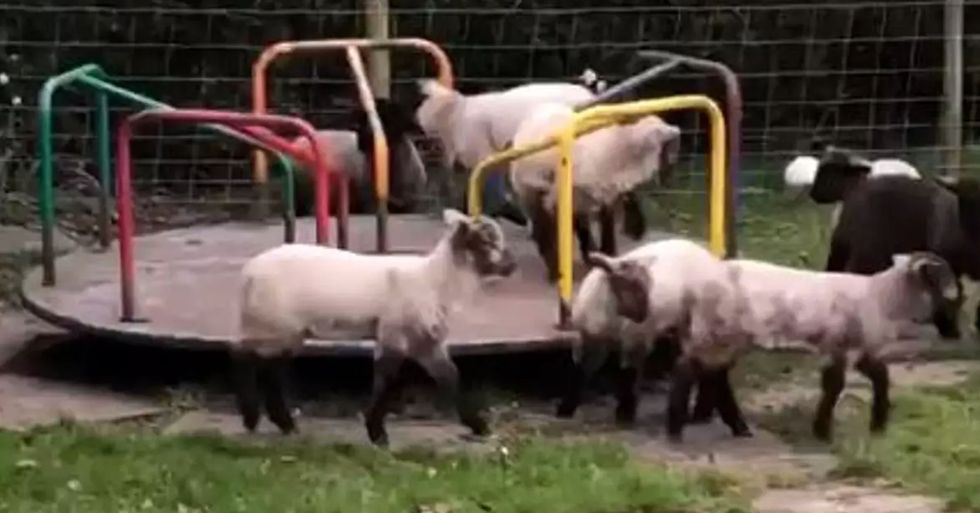 Lambs Spotted Playing on Children's Roundabout During Lockdown