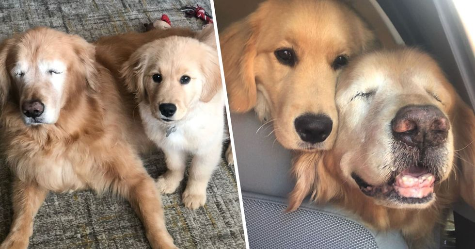 Golden Retriever Gets His Own Guide Dog After Losing Both Eyes
