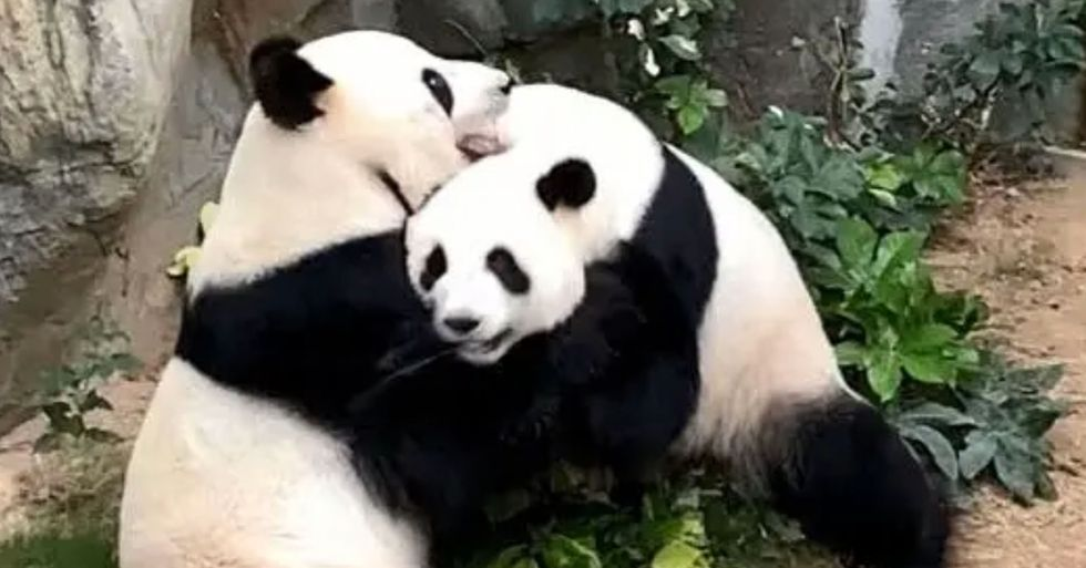Two Pandas at an Empty Zoo Under Quarantine Finally Mate After 10 Years Together