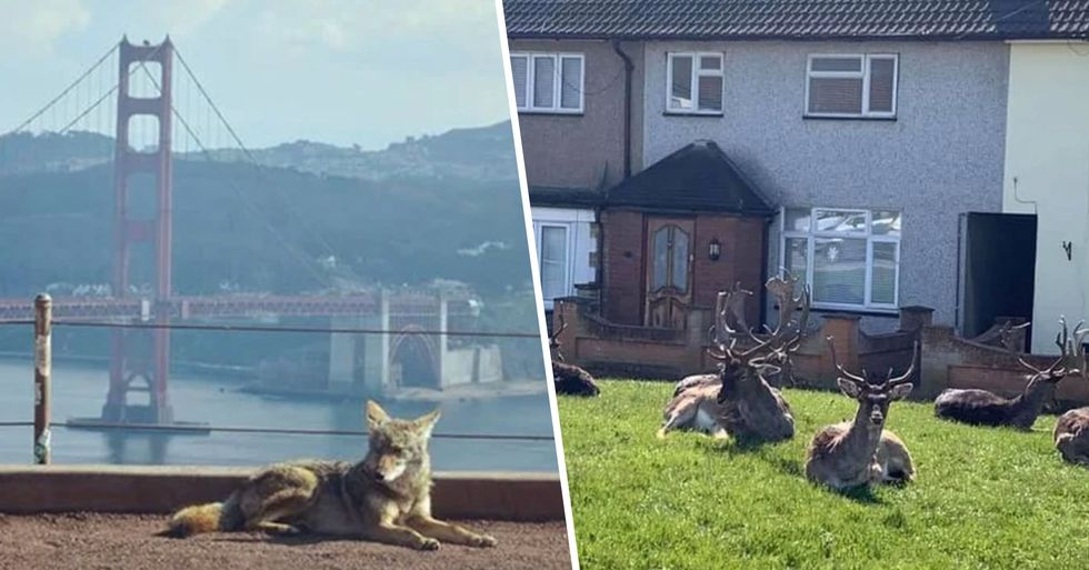 Animals Invade Cities as People Self-Isolate at Home