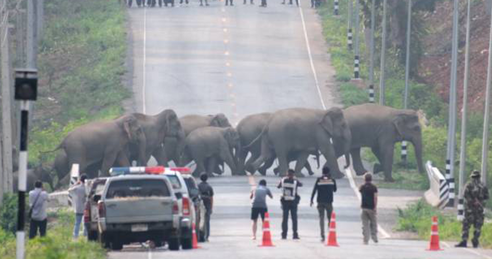 Incredible Moment Herd of 50 Elephants Cross a Road in Thailand