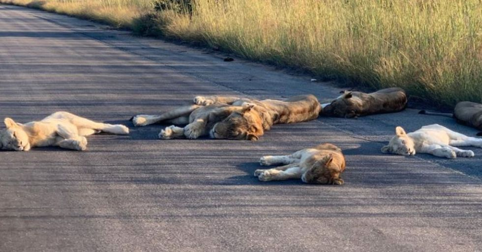 Lions Nap in the Middle of the Road During Quarantine in South Africa
