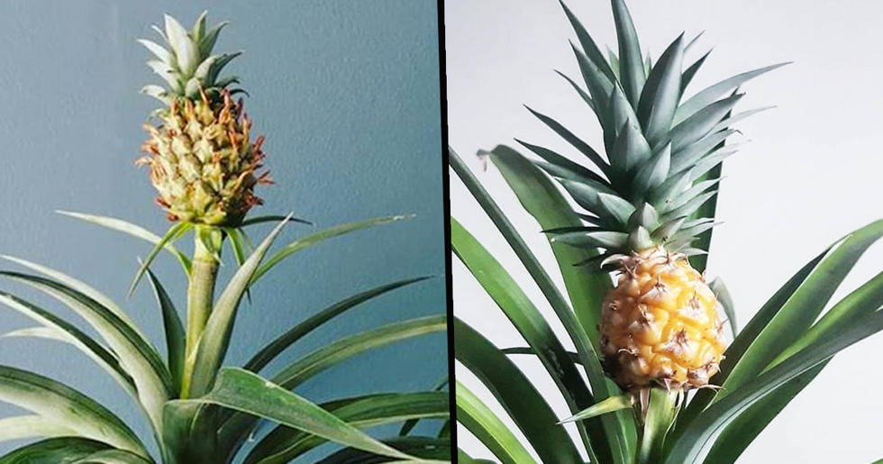 You Can Now Buy Your Home An Indoor Pineapple Tree