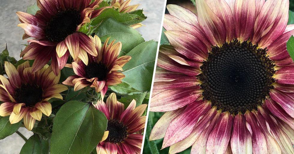 'Strawberry Blonde' Sunflowers Have Stunning Pink Gradient Petals