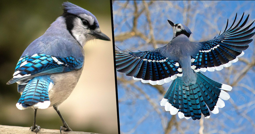 The Stunning Feathers of the Common Blue Jay Are Anything but Common