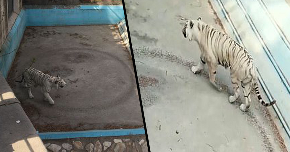 Tiger Walks in Endless Circles at Chinese Zoo in Heartbreaking Footage