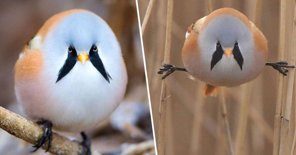 These Adorably Round Bearded Birds Can Do the Splits Perfectly