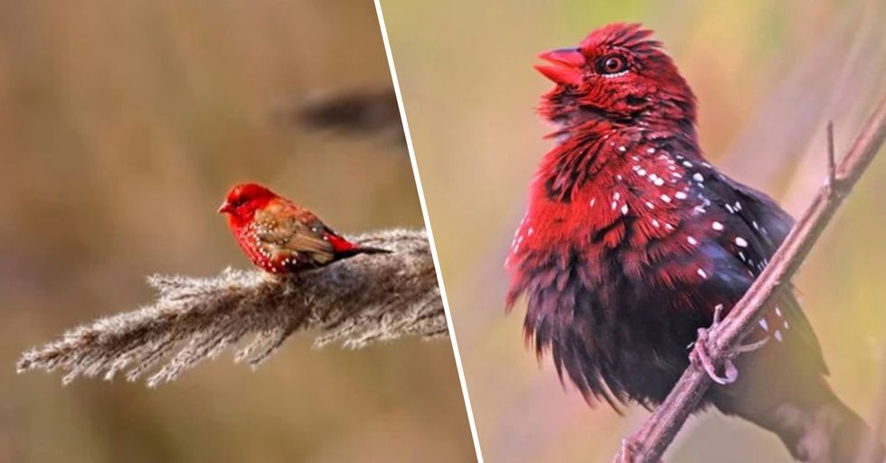 People Are Obsessed With These Beautiful Birds Called Strawberry Finches