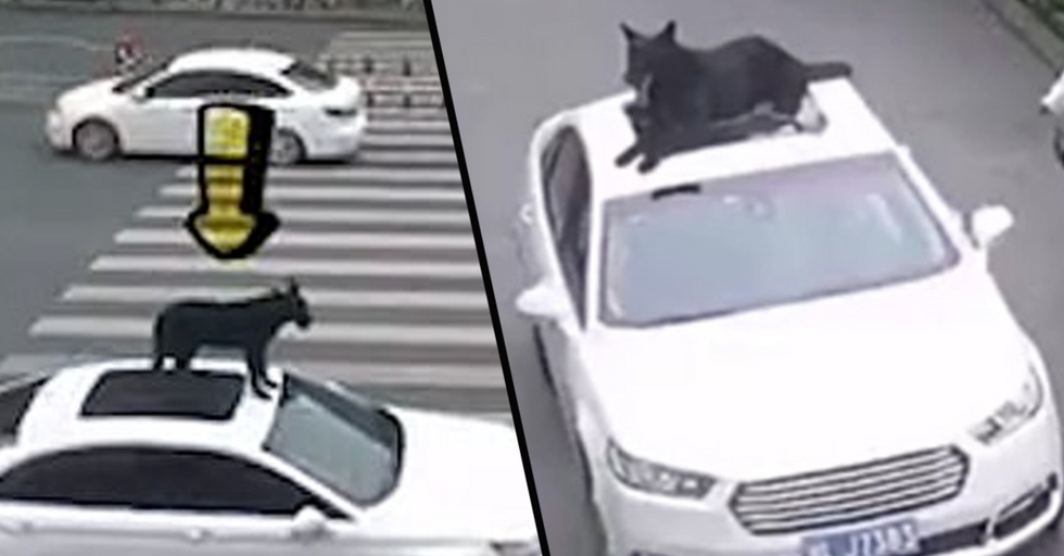 Man Slammed for Putting Pet Dog on Top of His Car Without Harness Because 'There's Not Room Inside'