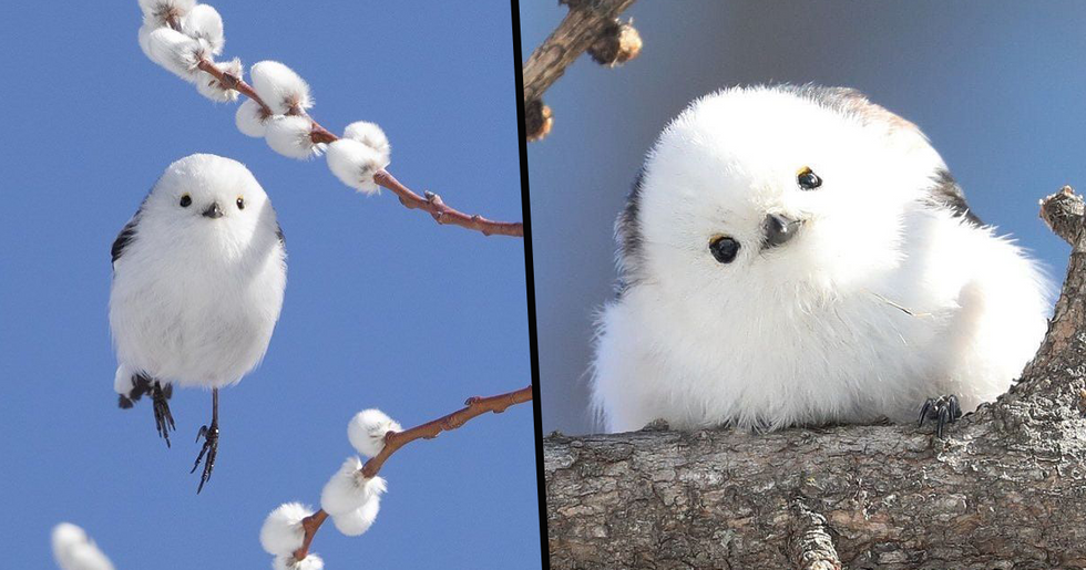 Tiny Birds That Look Like Flying Cotton Balls Live on a Japanese Island