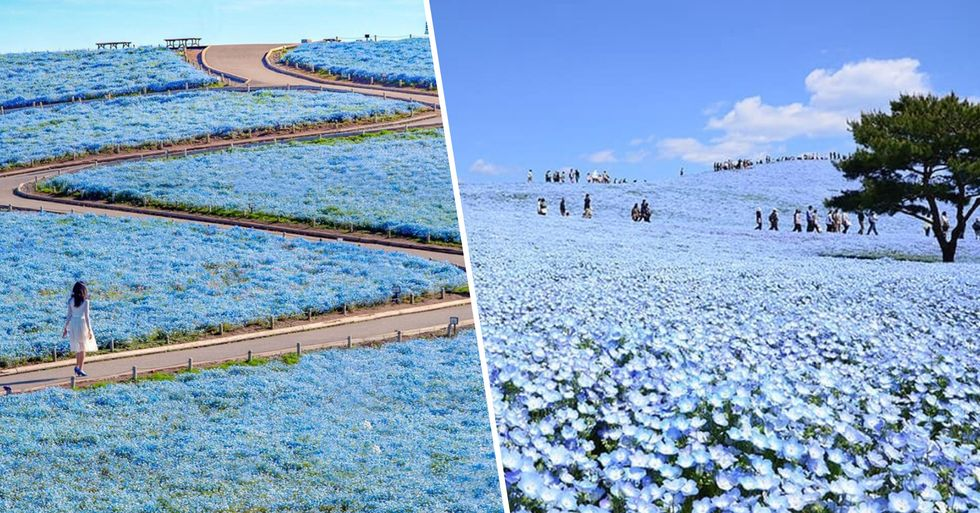 4.5 Million Blue Flowers Are in Bloom at a Japanese Park and It Looks Likes Something From a Fairy Tale