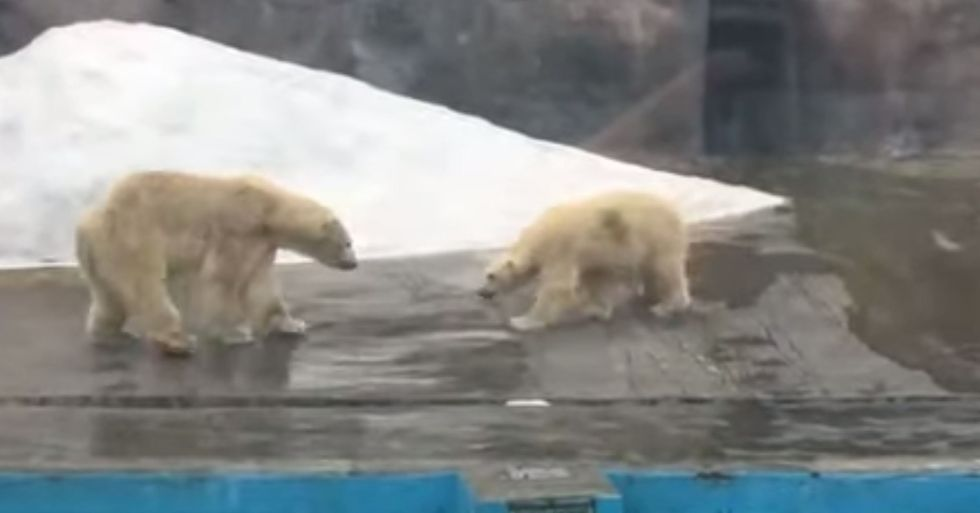 Polar Bear Shipped 1,900 Miles to Mate Is Killed Immediately by Male During Mating