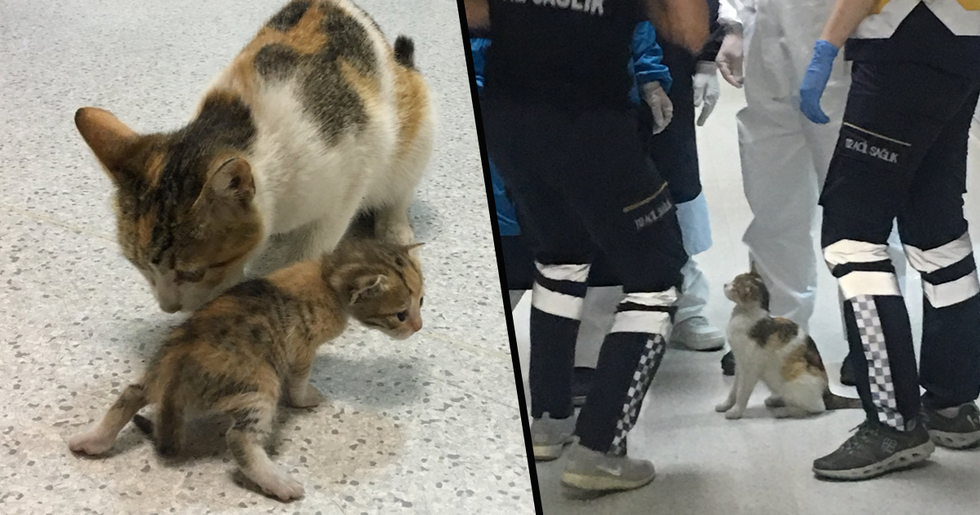 Stray Cat Carries Her Sick Kitten to Hospital so Medics Can Help
