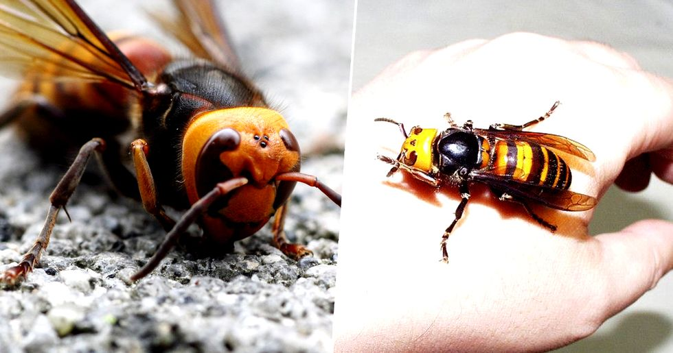 Giant Murder Hornets Spotted for First Time Ever in US