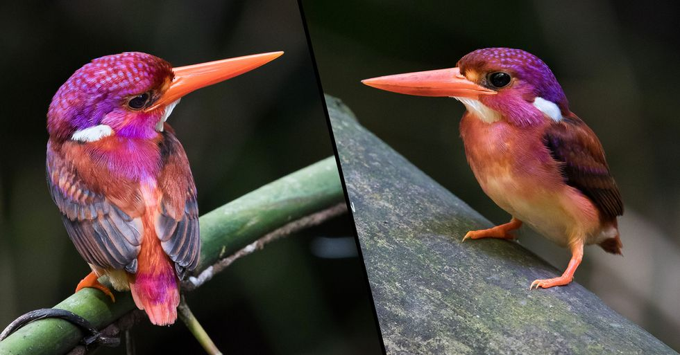Super Rare Dwarf Kingfisher Spotted and Photographed for the Very First Time in 130 Years