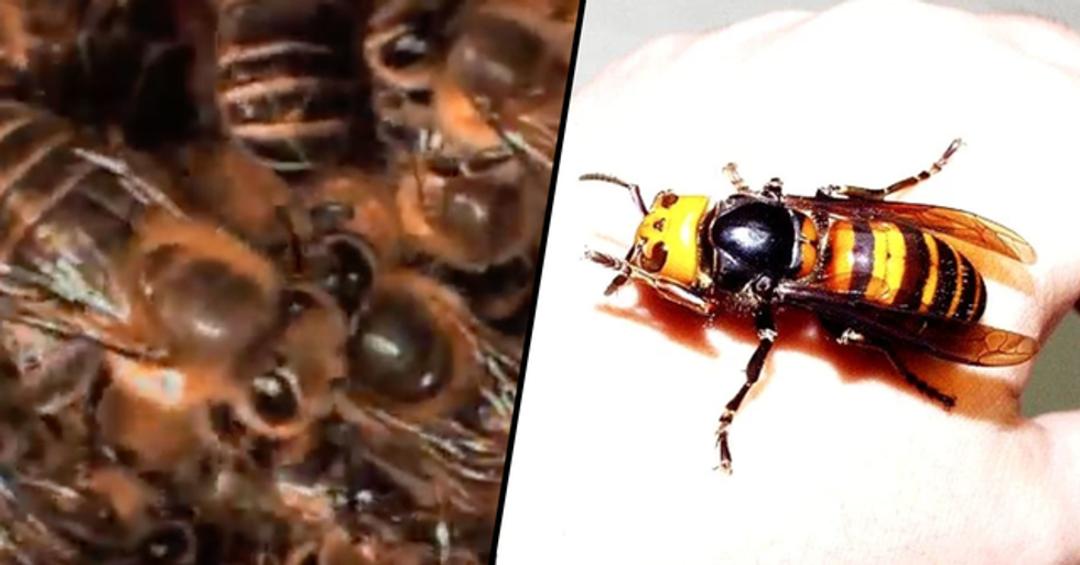 Shocking Footage Shows Japanese Bees Teaming up to 'Cook a Murder Hornet Alive'