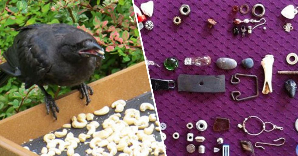8-Year-Old Girl Receives Gifts From Crows She's Been Feeding