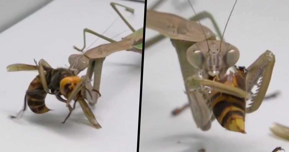 Praying Mantis Attacks, Kills and Eats Murder Hornet