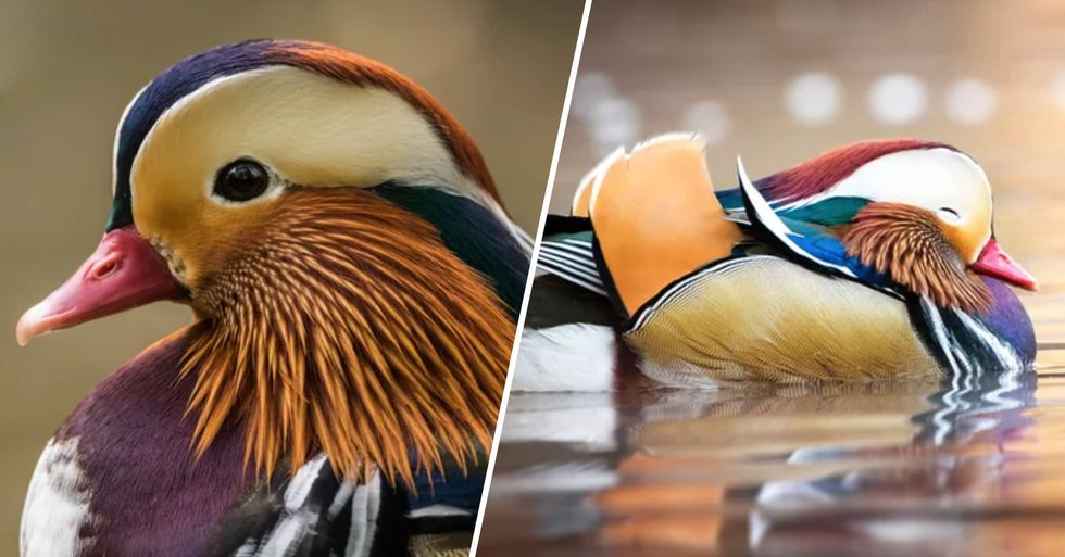'Most Beautiful Duck in the World' the Mandarin Duck Sighted Again in Canada