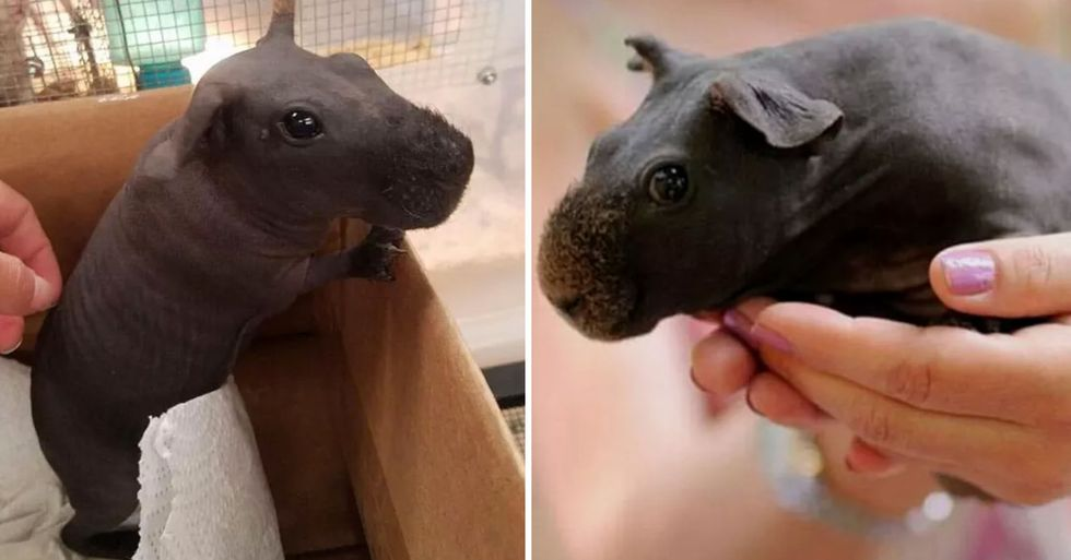 'Skinny Pigs' Are Hairless Guinea Pigs That Look Like Pocket-Sized Hippos