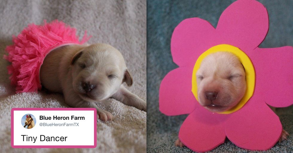 Farm Dresses up Newborn Puppies for Halloween and It's Beyond Adorable
