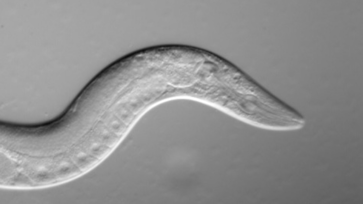 Biologists extend worm lifespan by 500% in surprising discovery on aging