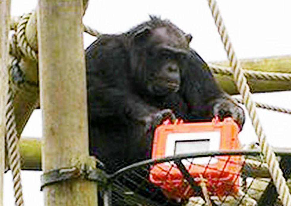Eight Items or Less: Coachella, Chimpanzees & Celebrate Brooklyn
