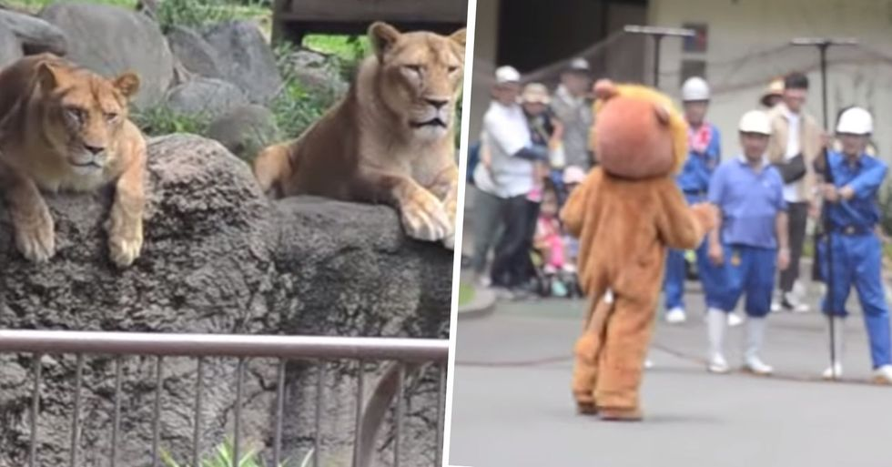 Japanese Zoo Escape Drill Goes Viral and People Loved the Real Lions' Reaction