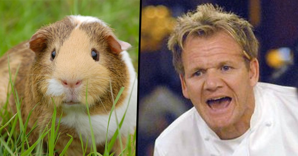 Gordon Ramsay Talked About Eating Guinea Pigs and People Are Disgusted