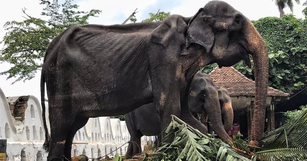Starved Elephant Forced to Parade the Streets during Festival Has Died