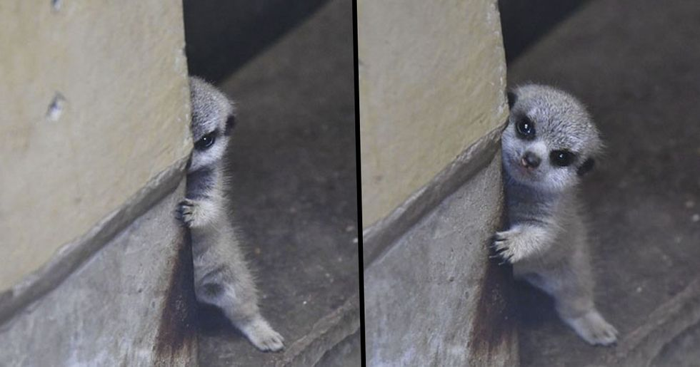 Japanese Photographer Captures a Shy-At-First Baby Meerkat and Its Family in 30 Pics