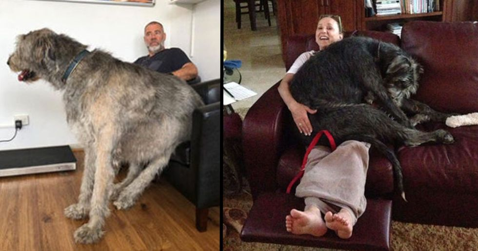 People Are Posting Hilarious Pictures of Their Irish Wolfhounds and They're Huge