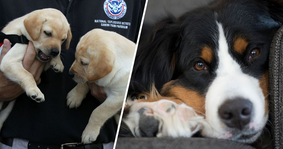 You Can Adopt Dogs That Failed Government Training for Being Too Nice