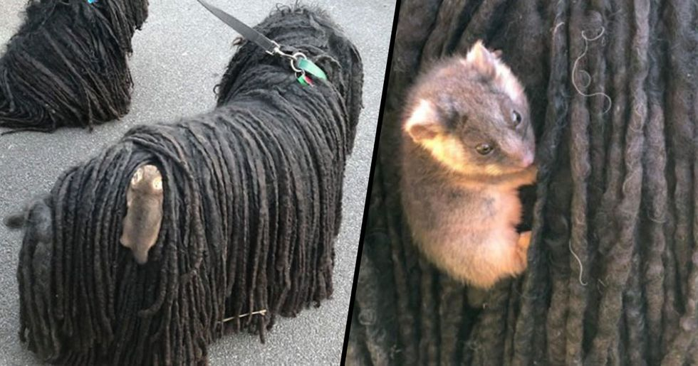 Owner Finds a Baby Possum Clinging on to Her Dog's Back