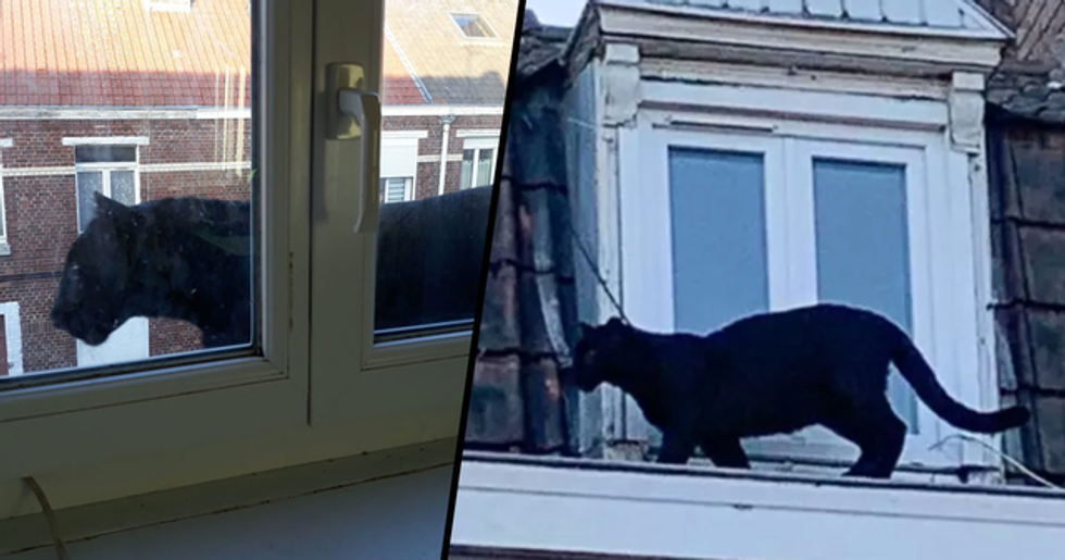 A Black Panther Has Been Spotted on Rooftops in France
