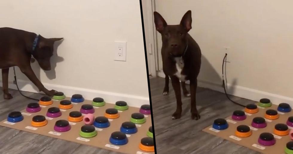 Dog Learning to Talk Using Custom Soundboard 'Similar to 2-Year-Old'