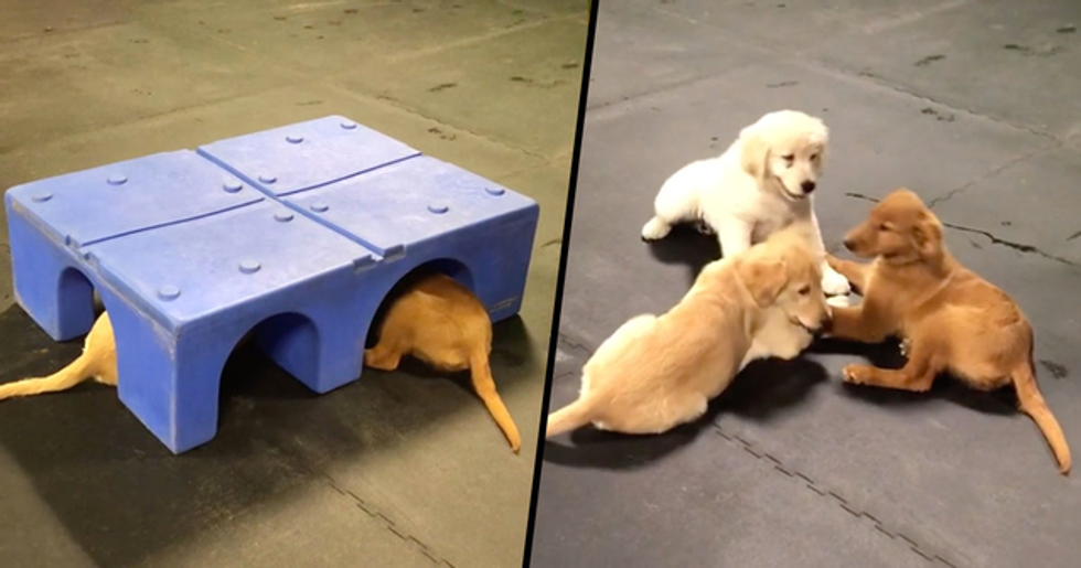 These Golden Retrievers Had a Secret Meeting Under a Box and It's Ridiculously Cute