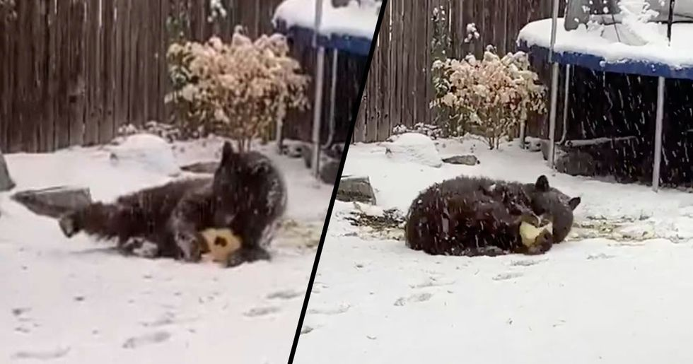 This Bear Is Having a Blast Playing with A Ball He Found in Someone's Backyard