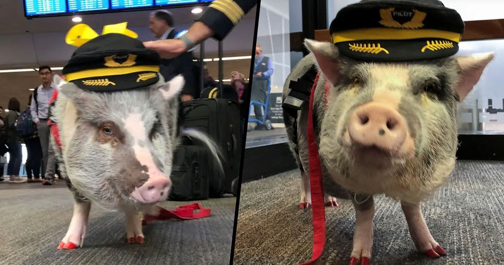 San Francisco Airport Is Home to a Pig Who Helps out Stressed Passengers