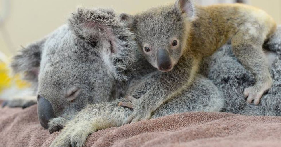Heartwarming Picture Captures a Baby Koala Hugging His Mom During Life-Changing Surgery