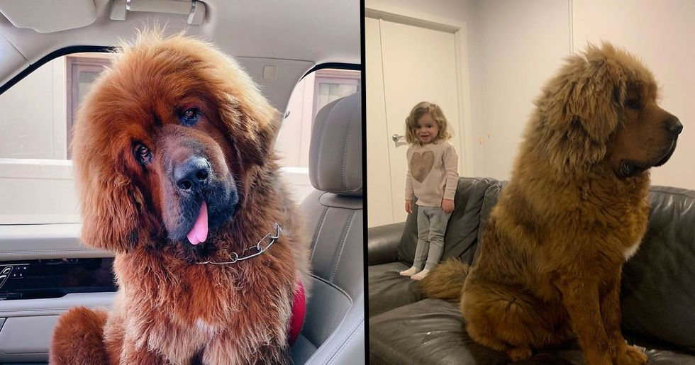 People Are Posting Funny and Cute Photos of Tibetan Mastiffs, and They Are Incredible