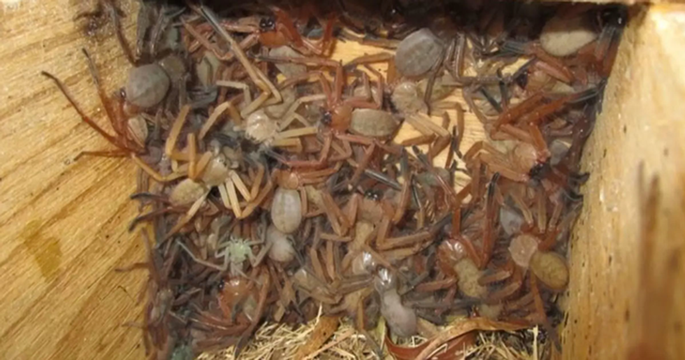 Rare Photos of Huntsman Spider Nest Are the Most Terrifying Thing You'll See