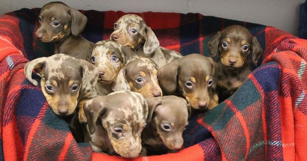 Nine Festive Dachshund Puppies Named After Santa's Reindeer Looking For Forever Home